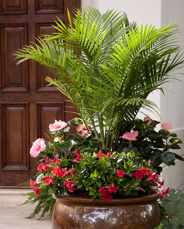 Majesty-Palm-in-Planter