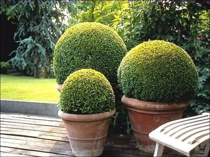boxwood-topiaries